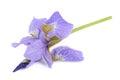 Beautiful Purple Iris Flower Isolated on White Background Royalty Free Stock Photo