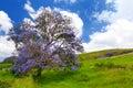 Beautiful Purple Jacaranda Tre...