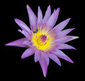Beautiful purple lotus Stock Image