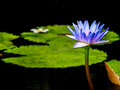 Beautiful purple lotus in a pond Stock Photos