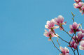 Beautiful purple magnolia flowers in the spring season on the magnolia tree. Blue sky background Royalty Free Stock Photo