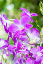 Beautiful purple orchid, Dendrobium.