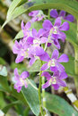 Beautiful purple orchid flower the Royalty Free Stock Image