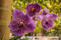 Beautiful purple orchid  flower - phalaenopsis Royalty Free Stock Photo
