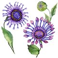 Beautiful purple osteospermum South African daisy flower on a stem with green leaves. Isolated on white background.