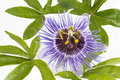 Beautiful purple Passiflora on white background Royalty Free Stock Photo