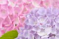 Beautiful Purple and Pink Hydrangea Flowers Royalty Free Stock Photo