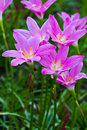 Beautiful purple rain lily flowers flower on the ground Royalty Free Stock Photography