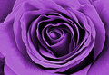 Beautiful purple rose. Macro image Royalty Free Stock Photo