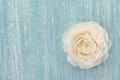 Beautiful ranunculus on blue shabby background, spring flower, vintage card Royalty Free Stock Photo