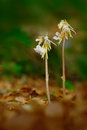Beautiful rare wild orchid Ghost Orchid, Epipogium aphyllum. Orchid in the forest. Two flower orchid in the nature habitat. Ghost Royalty Free Stock Photo
