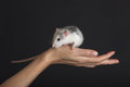Beautiful rat domestic on a hand against black background Royalty Free Stock Photos