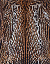 Beautiful real skin leopard texture Royalty Free Stock Image