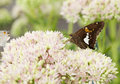 Beautiful Red Admiral Butterfly on Sedum Bl Royalty Free Stock Image