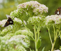 Beautiful Red Admiral Butterfly on Sedum Bl Royalty Free Stock Photos