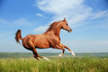 Beautiful red arabian horse running gallop Stock Photos