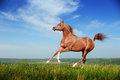 Beautiful red arabian horse running gallop on the field Royalty Free Stock Photo