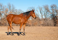 Beautiful red bay Arabian horse Stock Image