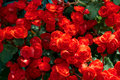 Beautiful red begonia Royalty Free Stock Photo