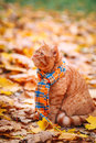 Beautiful Red british Cat with Yellow Eyes n a blue scarf Outdoor. Autumn cat in yellow leaves. Royalty Free Stock Photo