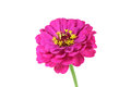 Beautiful red bud Echinacea Royalty Free Stock Photo