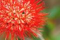 Beautiful of Red bush willow or Thai powder puff flower