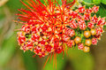Beautiful of Red bush willow or Thai powder puff flower Royalty Free Stock Photo