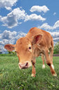 Beautiful red calf in a meadow Stock Photo