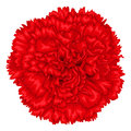 Beautiful red carnation isolated on white background. Royalty Free Stock Photo