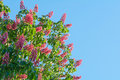 Beautiful red chestnut tree flowers blossom close up over blue sky Royalty Free Stock Photo