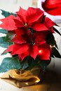 Beautiful red christmas flower poinsettia. Royalty Free Stock Photo