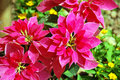 Beautiful red christmas flower or poinsettia Royalty Free Stock Photo