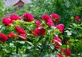 Beautiful red climbing roses in the summer garden.Decorative flowers or gardening concept.