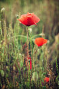 Beautiful red corn poppy flowers (Papaver rhoeas) in the meadow Royalty Free Stock Photo