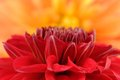 Beautiful red dahlia macro on orange background a shot of a an Stock Images