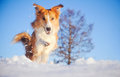 Beautiful red dog border collie playing winter blue sky background Royalty Free Stock Images