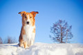Beautiful red dog border collie winter background Royalty Free Stock Image