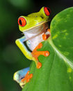 Beautiful red eyed green tree frog, costa rica Stock Photos