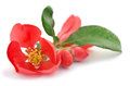 Beautiful red flower Royalty Free Stock Photo