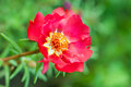 Beautiful red flower Portulaca oleracea. macro view garden colorful plant green soft focus floral background Royalty Free Stock Photo