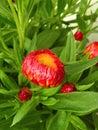 Straw flower in garden, Lithuania