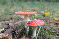 Beautiful red fly agarics in the forest Royalty Free Stock Photo