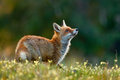 Beautiful Red Fox, Vulpes vulpes, at green forest with flowers Royalty Free Stock Photo