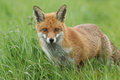 A beautiful Red Fox Vulpes vulpes standing in a grassy field. Royalty Free Stock Photo