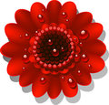 Beautiful red Gerber Daisy Royalty Free Stock Images