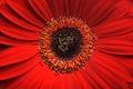 Beautiful red gerber flower part macro shot. Royalty Free Stock Photo