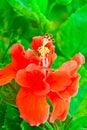 Beautiful red Hawaiian hibiscus flower Royalty Free Stock Photo