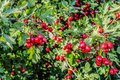 Beautiful red hawthorn fruit decorative in the early autumn on a sunny day. Moscow region, Russia Royalty Free Stock Photo