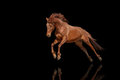 Beautiful Red Horse Galloping In A Phase Jump Developing Mane.