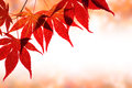 Beautiful red maple border Stock Photos
